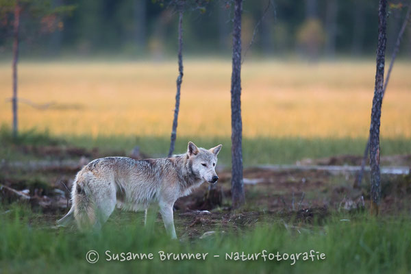 Wolf (Canis lupus), Finnland 2016
