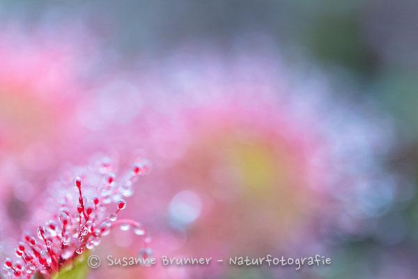 rundblättriger Sonnentau (Drosera rotundifolia), Deutschland 2016