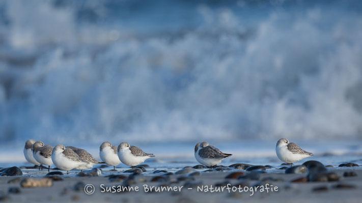 Sanderlinge (Calidris alba), Helgoland