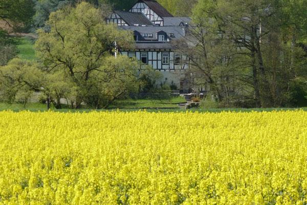 Rapsfeld bei der Hofener Mühle in Runkel (Foto © Renate Fachinger)