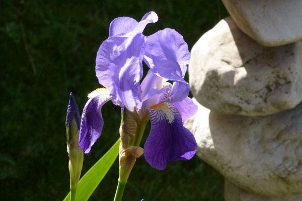 Lilien  im Vorgarten (Foto © Renate Fachinger)