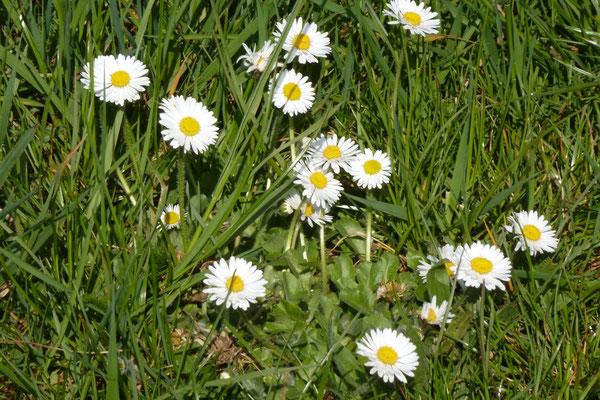 Gänseblumen (Foto © Renate Fachinger)
