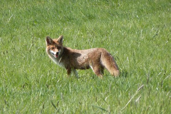 Fuchs (♀) auf Mäusejagd zwischen Lochum und Alpenrod (Foto © Renate Fachinger)