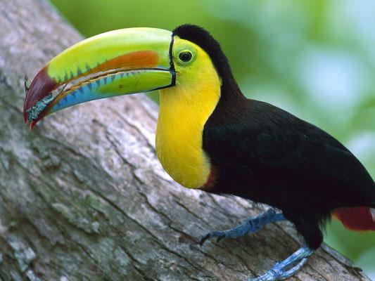 Toucan du Panama