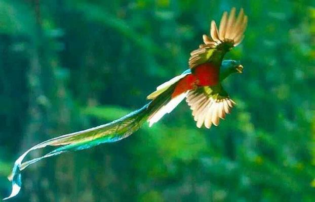 Un Quetzal (oiseau)