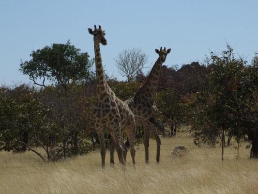 beeindruckend diese Giraffen