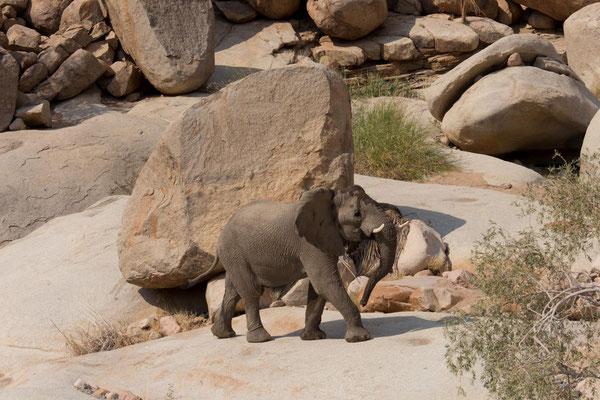 Wüstenelefant bei der Wanderung zur White Lady