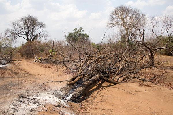 Bäume müssen manchmal umfahren (nicht umgefahren!) werden