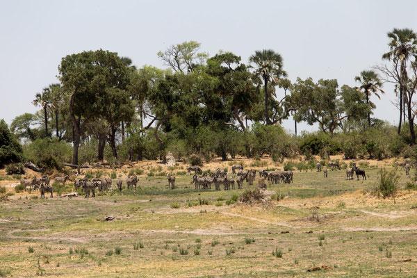 ahnungslose Zebraherde