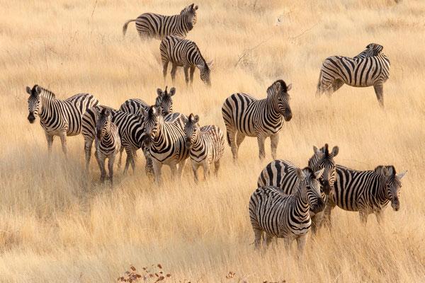 So viele Zebras