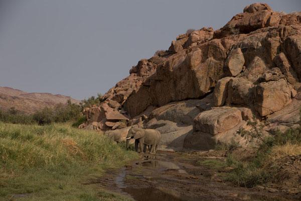Wüstenelefanten im UgabRivier