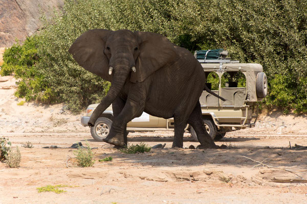 chasing elefants