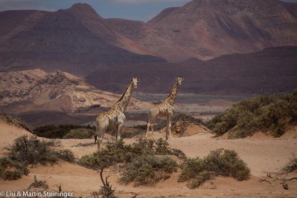 und scheue Giraffen