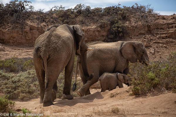 viele Elefanten im Huab River