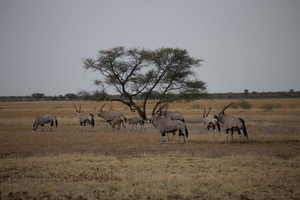 Oryx im Central Kalahari NP