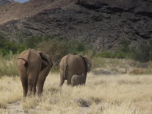 Wüstenelefanten im Hoanib