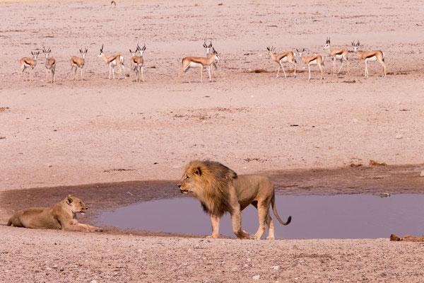 Master Lion