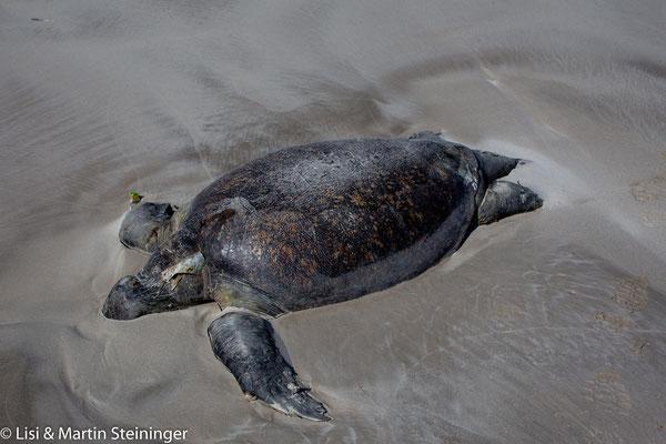 Fischerleinen werden Schildkröten zum Verhängnis