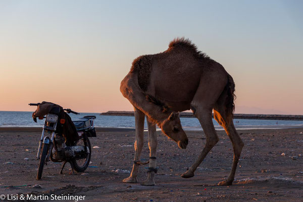 motorized camel