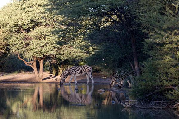 Zebras am Wasserloch bei der SanLodge