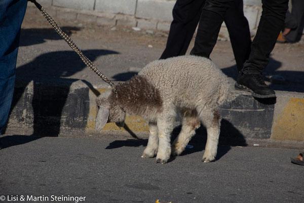 iranian dog?