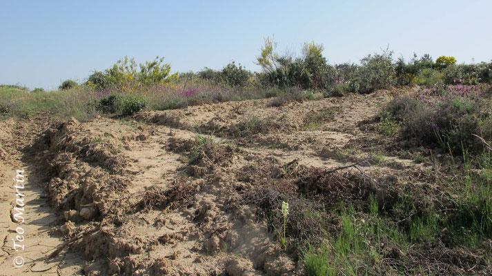 Trocha forestal con maquinaria pesada en una población de Platanthera bifolia