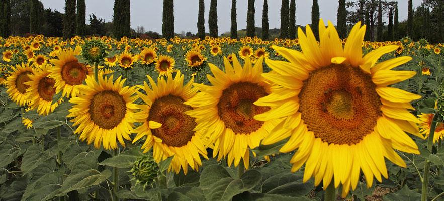 Sonnenblumenfeld bei Cecina - 2012