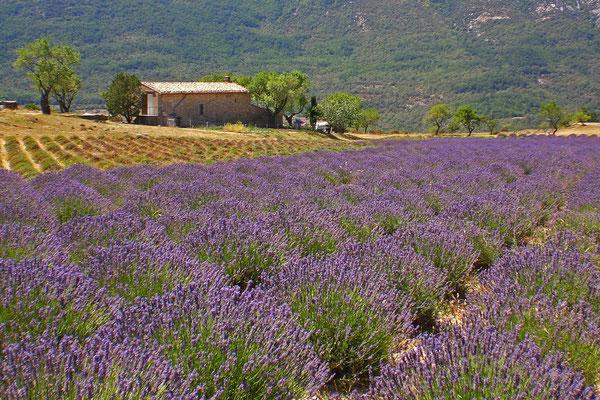 Lavendel oberhalb der Verdon-Schlucht
