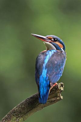 EIsvogel - wildlife 2012