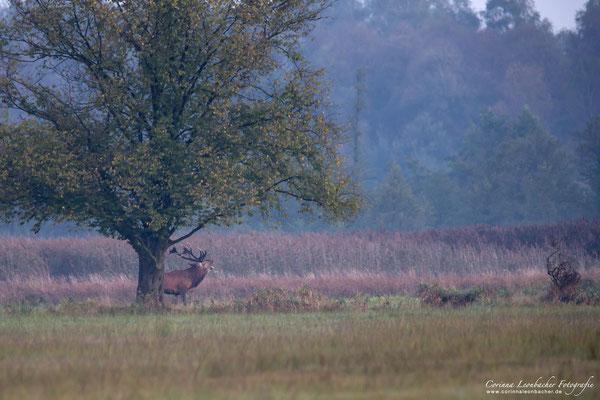 Hirschbrunft im Norden Hamburgs - wildlife 2014