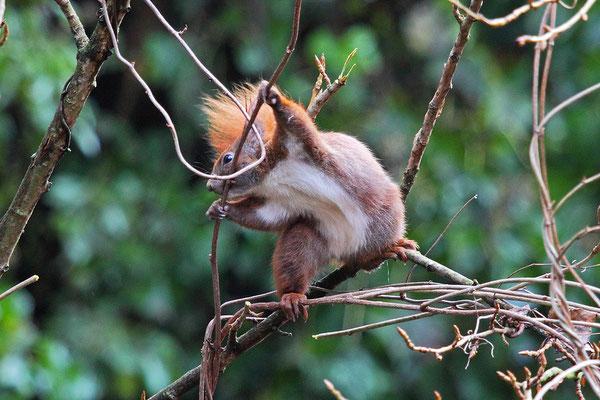 Eichhörnchen beim Kobel-Bau