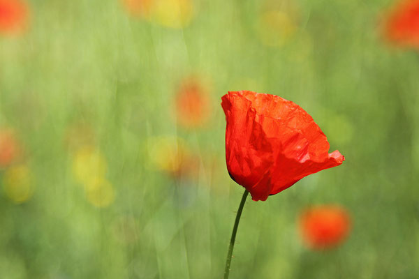 Mohn in Hannover