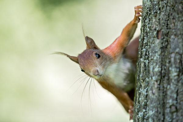 Eichhörnchen - wildlife