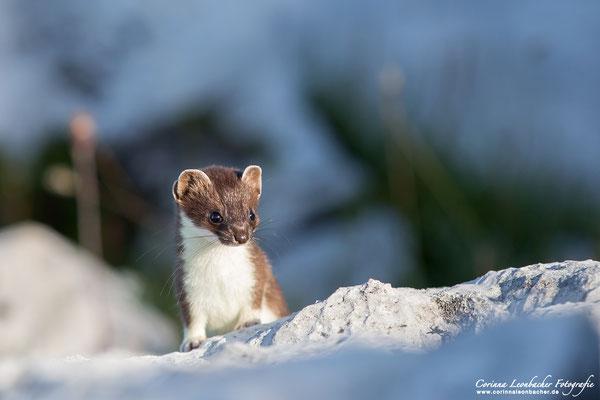 Hermelin mit Sommerfell - wildlife - Naturpark Schlern/Rosengarten - Dolomiten