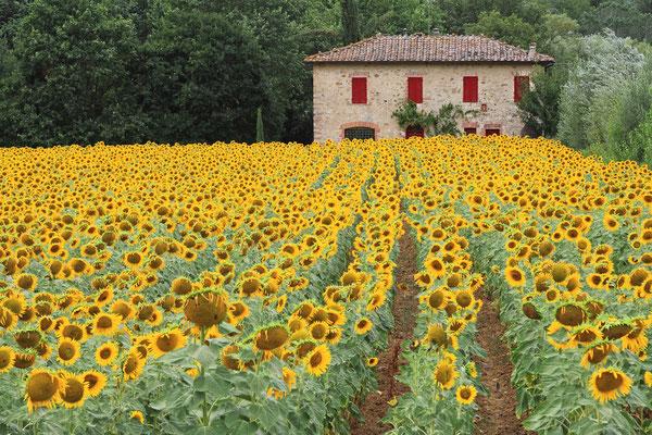 Sonnenblumen nahe Siena
