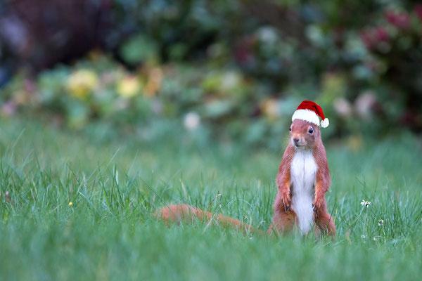 Das Weihnachtshörnchen