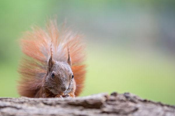 Eichhörnchen - Hamburg - wildlife