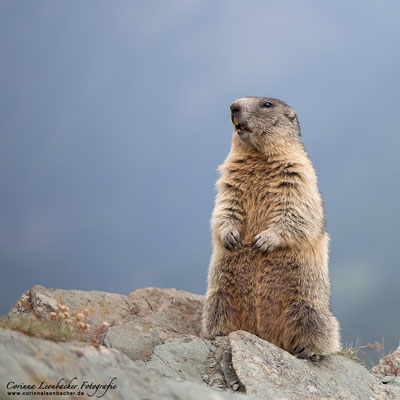 Murmeltier im Nationalpark Hohe Tauern
