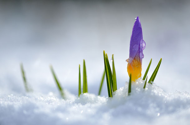 Krokusblüte im Schnee