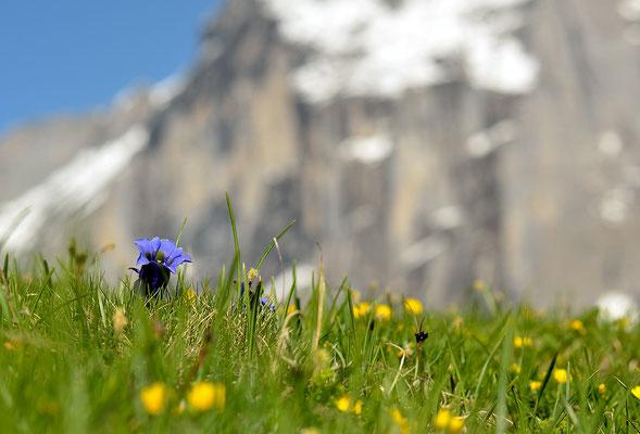 Enzian - Berner Oberland