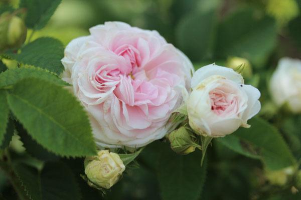 Rosa 'Félicité Parmentier'