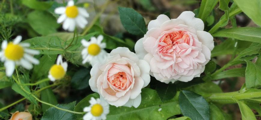 Rosa 'Rose of Gardens'