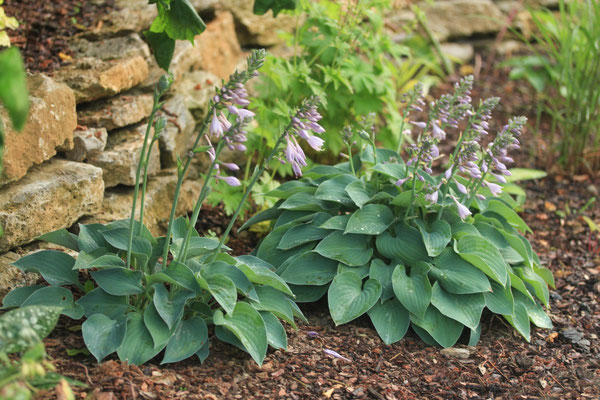 Hosta Baby Blue Eyes