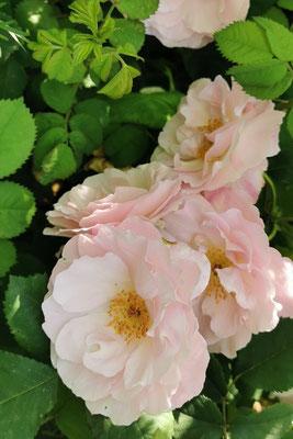 Rosa 'Fritz Nobis'