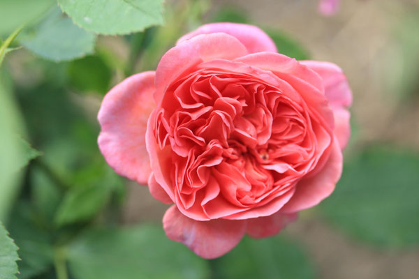 Rosa 'Boscobel'