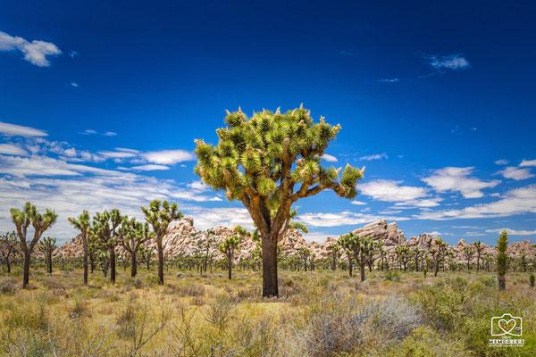 Yoshua Trees