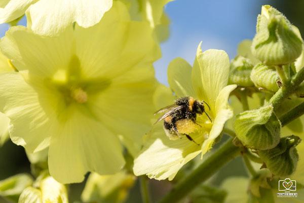 Hummel auf Blüte bei Sigmaringen