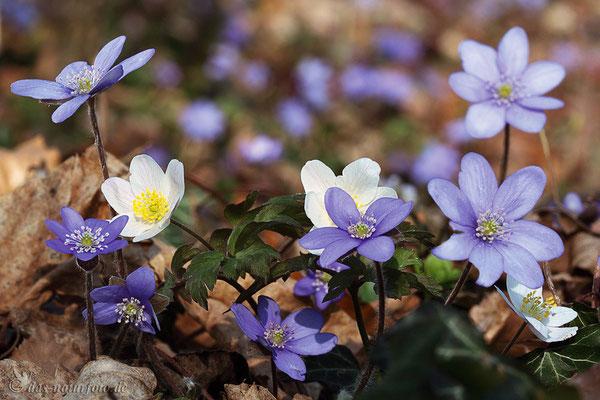 Leberblümchen und Busch-Windröschen