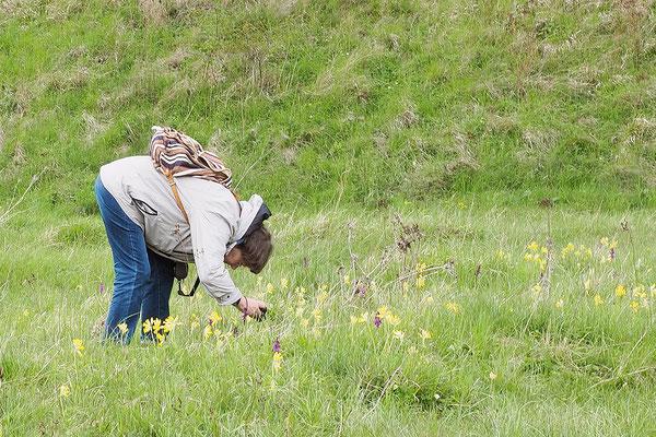 Nicht nur die vielen Schlüsselblumen begeisterten die Teilnehmer, auch das Manns-Knabenkraut (Orchis mascula)