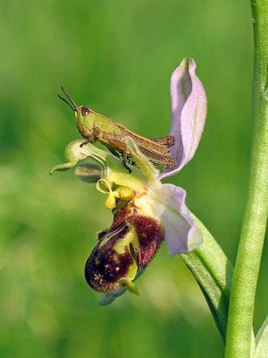 Bienen-Ragwurz (Ophrys apifera) Foto: Rolf Nimser